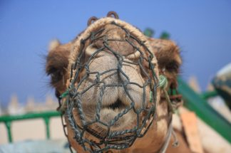 Camel Fuerteventura